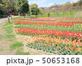 春の公園 チューリップ花畑 50653168