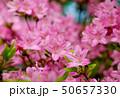ミヤマキリシマ 50657330