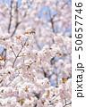 満開のエゾヤマザクラ 50657746