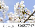 ソメイヨシノ(アップ 空バック) 50657747