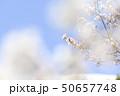 ソメイヨシノ(空バック) 50657748