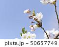 ソメイヨシノ(アップ 空バック) 50657749