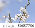 ソメイヨシノ(アップ 空バック) 50657750