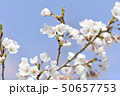 ソメイヨシノ(アップ 空バック) 50657753