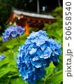紫陽花 あじさい 花の写真 50658540