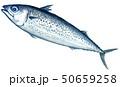 鯖 胡麻鯖 白バックのイラスト 50659258