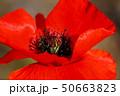 赤 花 ポピーの写真 50663823