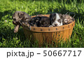 Several puppies in a wooden basket on a green lawn 50667717