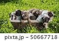 A group of small puppies in a basket, trying to escape 50667718