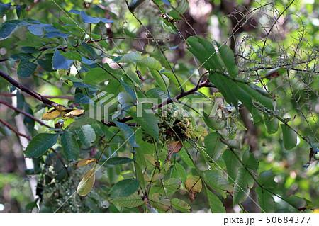 ヌルデ フシノキ、カチノキ、カツノキ、ヌルデシロアブラムシ、虫こぶ、ヌルデシロアブラムシ 50684377