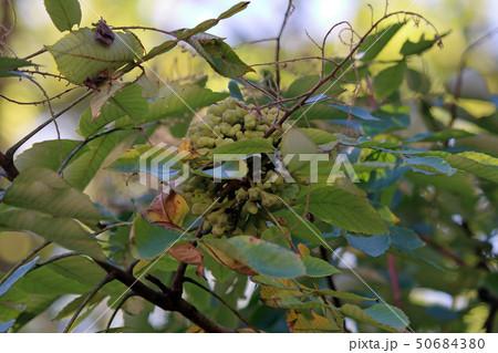 ヌルデ フシノキ、カチノキ、カツノキ、ヌルデシロアブラムシ、虫こぶ、ヌルデシロアブラムシ 50684380