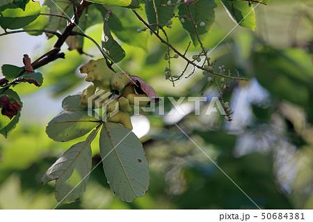 ヌルデ フシノキ、カチノキ、カツノキ、ヌルデシロアブラムシ、虫こぶ、ヌルデシロアブラムシ 50684381