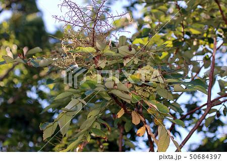 ヌルデ フシノキ、カチノキ、カツノキ、ヌルデシロアブラムシ、虫こぶ、ヌルデシロアブラムシ 50684397