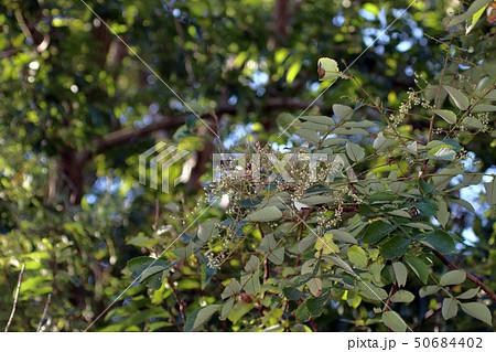 ヌルデ フシノキ、カチノキ、カツノキ、ヌルデシロアブラムシ、虫こぶ、ヌルデシロアブラムシ 50684402