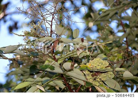 ヌルデ フシノキ、カチノキ、カツノキ、ヌルデシロアブラムシ、虫こぶ、ヌルデシロアブラムシ 50684405
