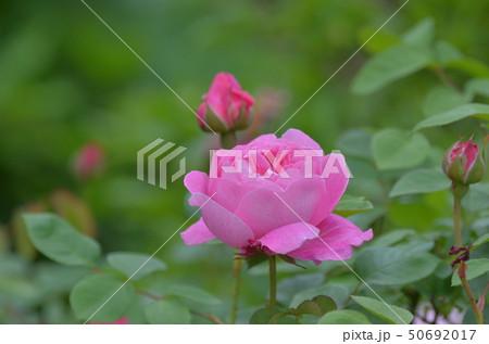 薔薇の花 50692017