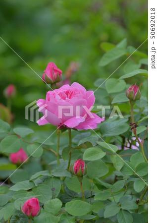 薔薇の花 50692018