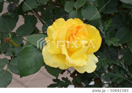 黄色いバラ 50692383
