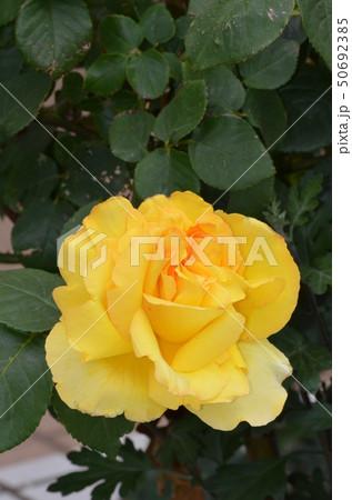 黄色いバラ 50692385