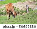 ジャージー牛 牛 牧場の写真 50692830