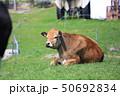 ジャージー牛 牛 牧場の写真 50692834