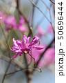 ミツバツツジ ムラサキツツジ 花の写真 50696444