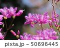 ミツバツツジ ムラサキツツジ 花の写真 50696445