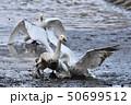 鳥 野鳥 水鳥の写真 50699512