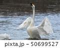 鳥 野鳥 水鳥の写真 50699527