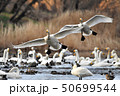 渡り鳥 鳥 水鳥の写真 50699544