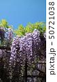 藤棚 紫 植物の写真 50721038