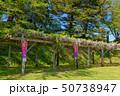 藤棚 藤 紫の写真 50738947