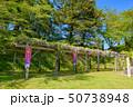 藤棚 藤 紫の写真 50738948