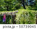 藤棚 藤 紫の写真 50739045