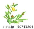水彩 春菊 シュンギク 野菜の花 春 50743804