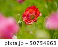 ポピー 花 植物の写真 50754963