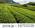 tea plantation in the mountaintop 50755236