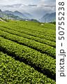 tea plantation in the mountaintop 50755238