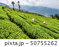 Woman picking tea leaves in a tea plantation. 50755262
