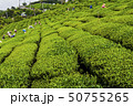 Woman picking tea leaves in a tea plantation. 50755265