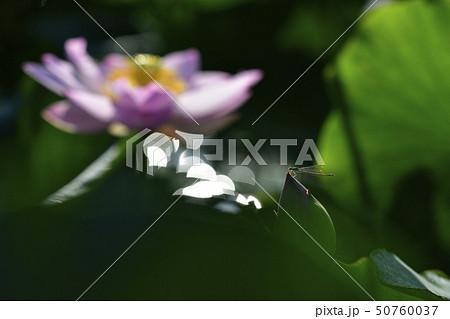 古代ハスの花とトンボ 50760037