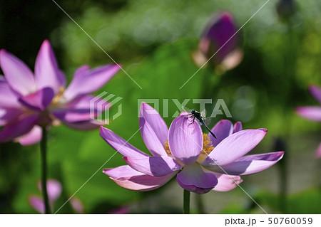 古代ハスの花にトンボ 50760059