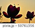 古代ハスの花とミツバチと朝焼けの空 50761356