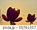 古代ハスの花とミツバチと朝焼けの空 50761357