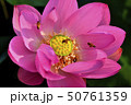 古代ハスの花とミツバチ 50761359