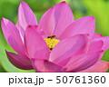 古代ハスの花とミツバチ 50761360