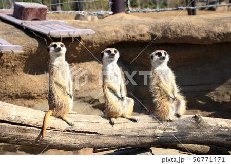 ミーアキャット 3匹で並んで見張り番 撮影許可・協力:よこはま動物園ズーラシア 50771471