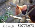 セスジキノボリカンガルー 撮影許可・協力:よこはま動物園ズーラシア 50773973