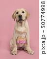 わんこ 犬 ブロンドの写真 50774998