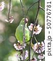 桜の花を食べる野生のワカケホンセイインコのメス  50776781